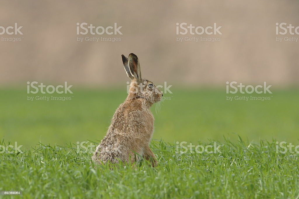 Hare on the field stock photo