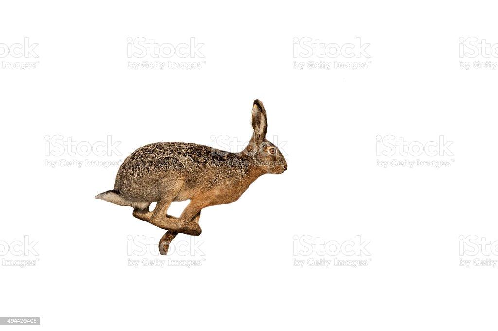 Hare (Lepus europaeus) stock photo