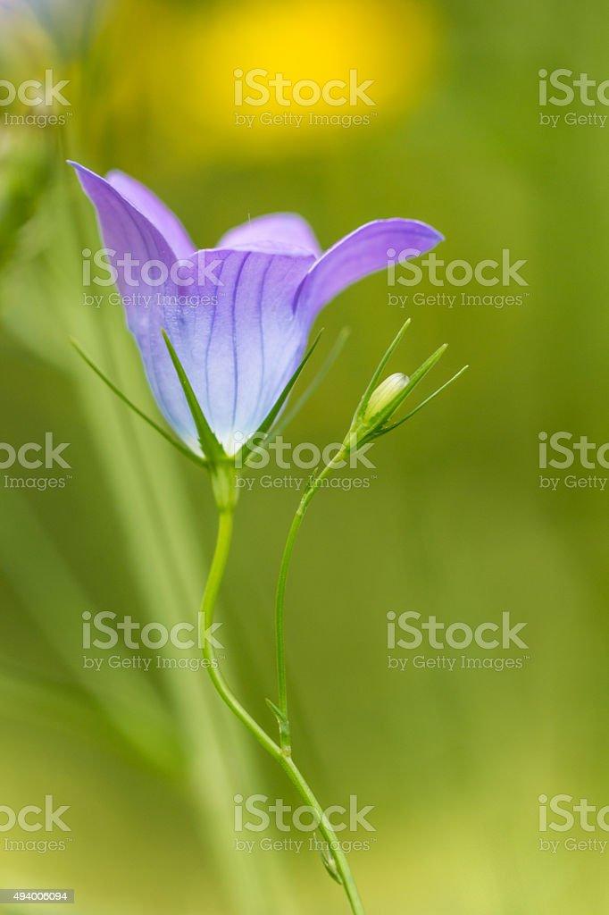 Campánula flor silvestre foto de stock libre de derechos