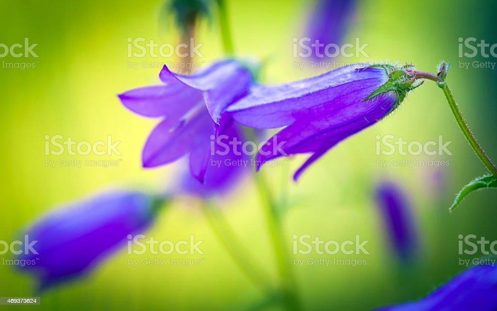 Harebells (Campanula) wild flowers on summer meadow stock photo