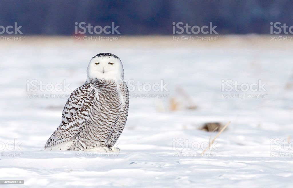 Harfang des neiges, Chouette, Rapace stock photo