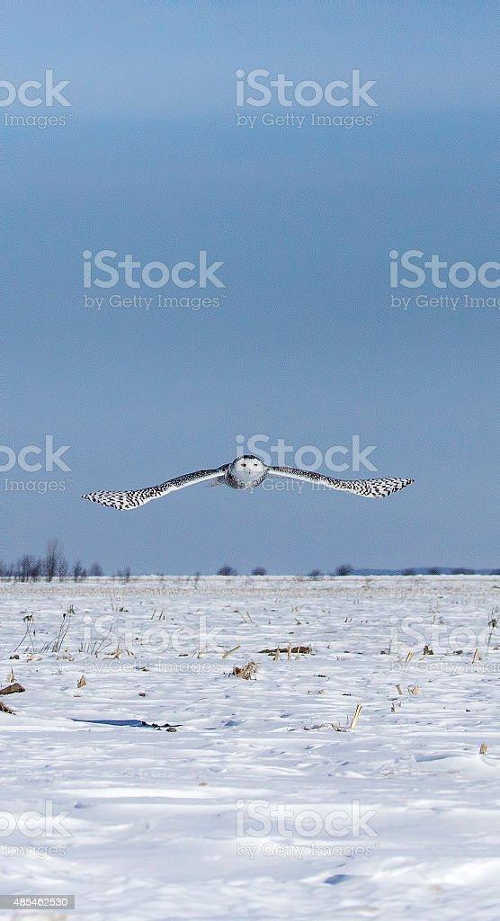 Harfang des neiges en vol stock photo