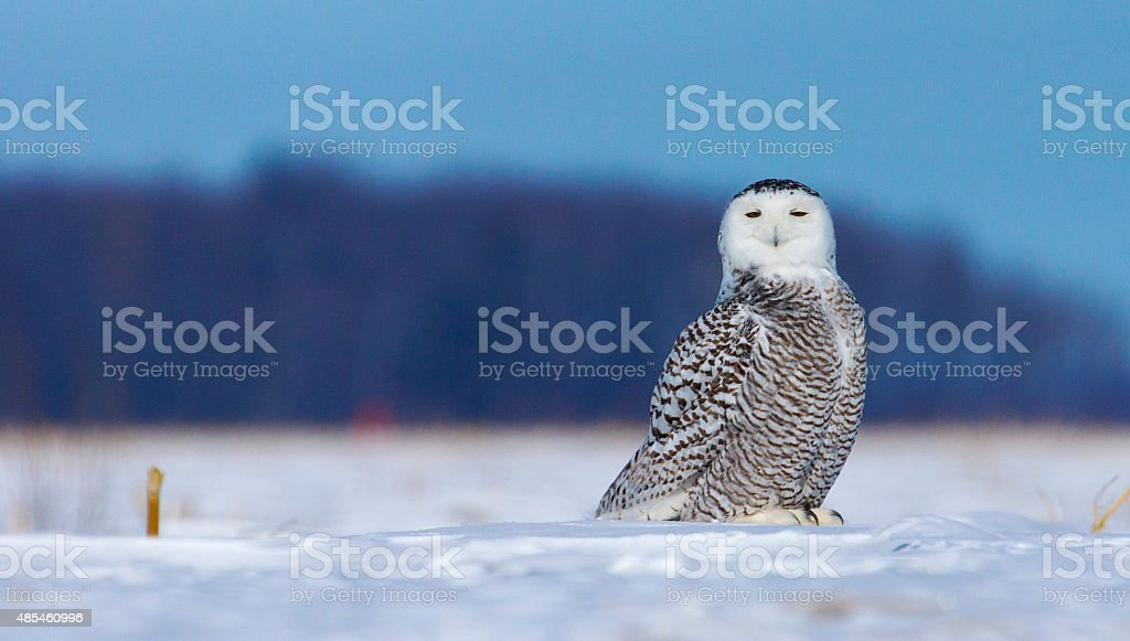 Harfang des neiges stock photo