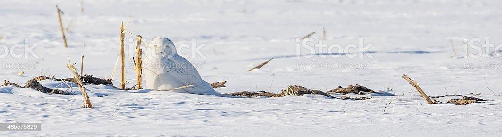 Harfang des neiges sur la neige stock photo