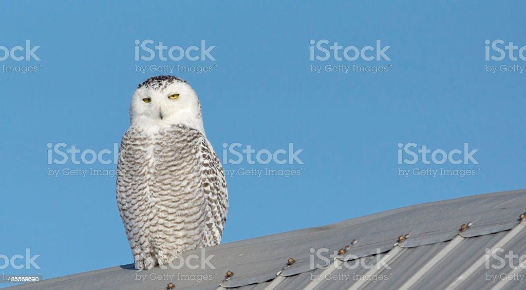Harfang des neiges sur un toit de grange en acier stock photo