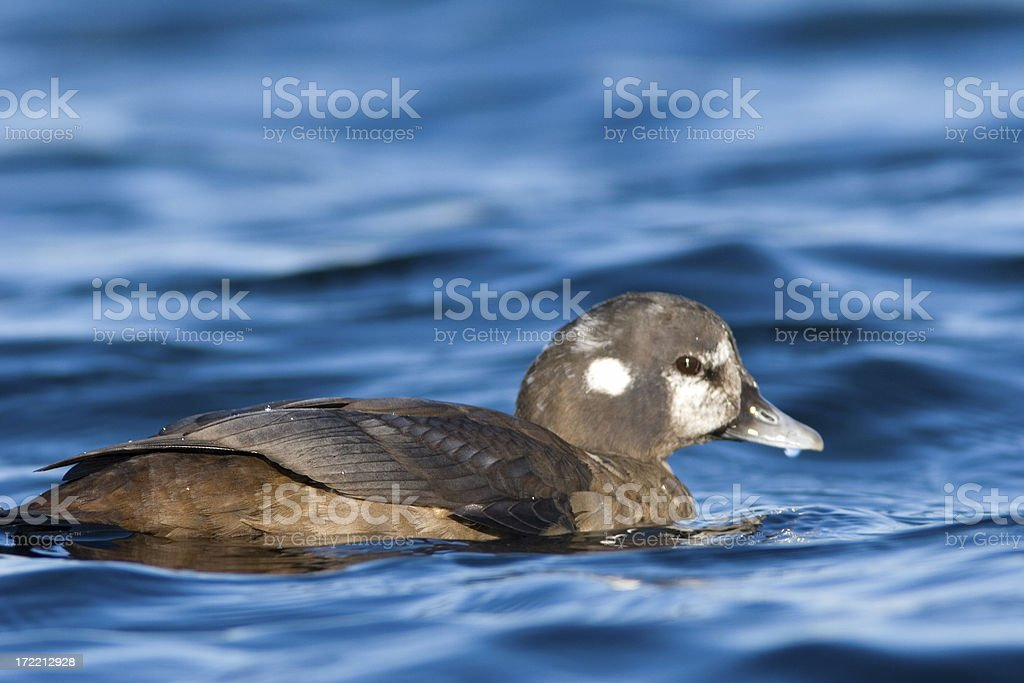 Harlequin Duck - Female stock photo
