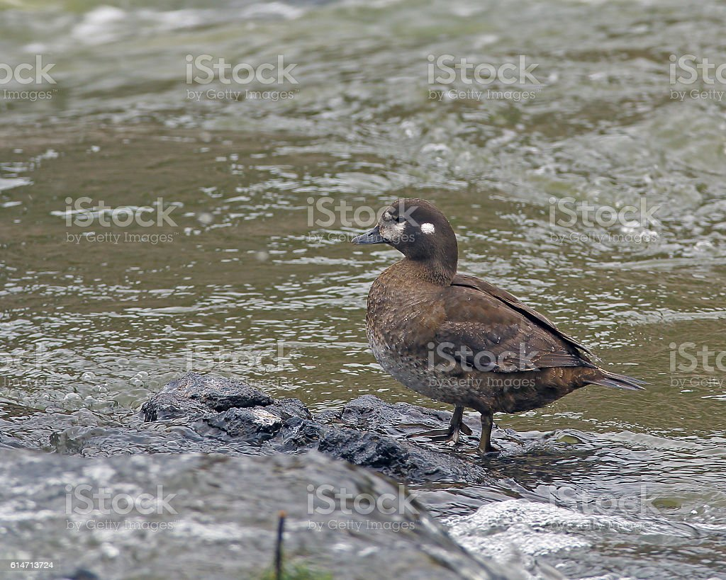 Harlequin Duck Hen stock photo