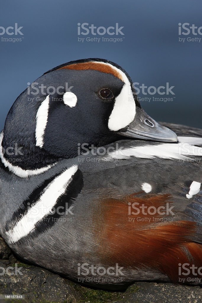 Harlequin duck, Histrionicus histrionicu stock photo