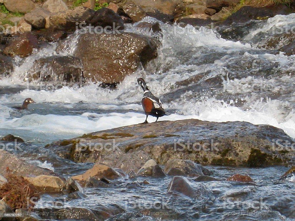 Harlequin Duck Iceland stock photo