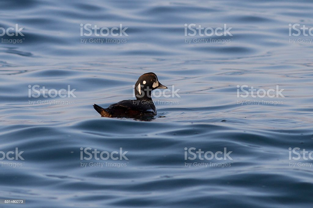 harlequin duck is floating in the bay Avachinskaya winter day stock photo