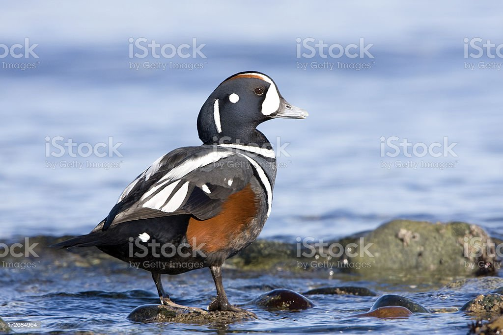 Harlequin Duck - Male stock photo