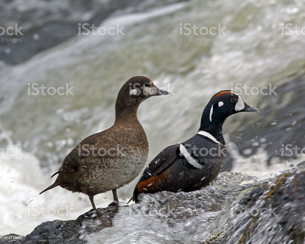 Harlequin Duck Pair stock photo