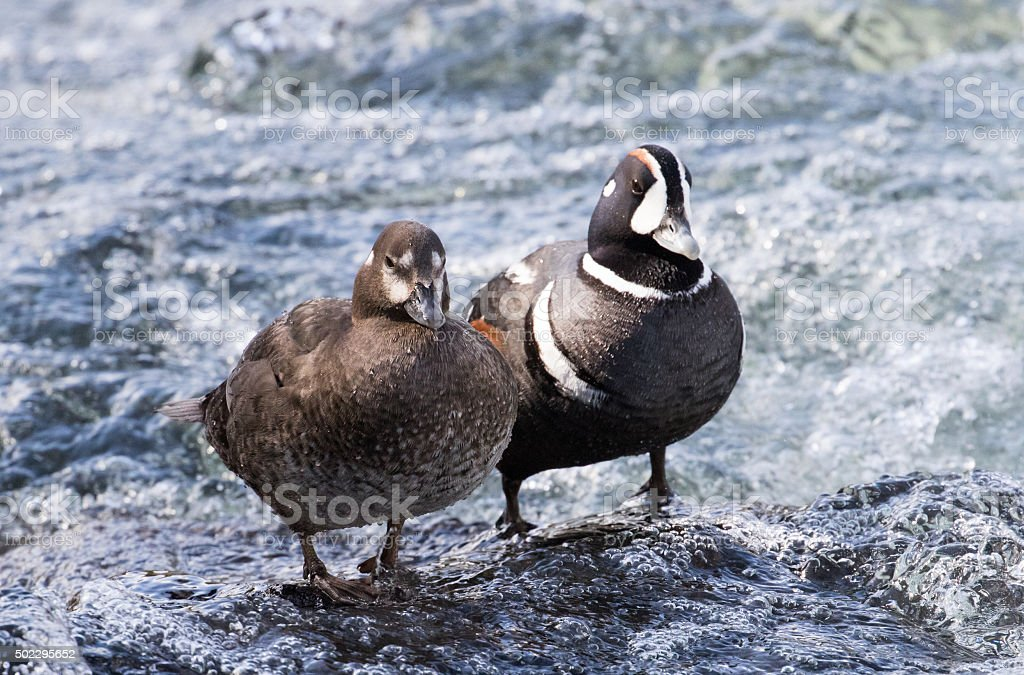 harlequin duck pair standing by rapid stock photo