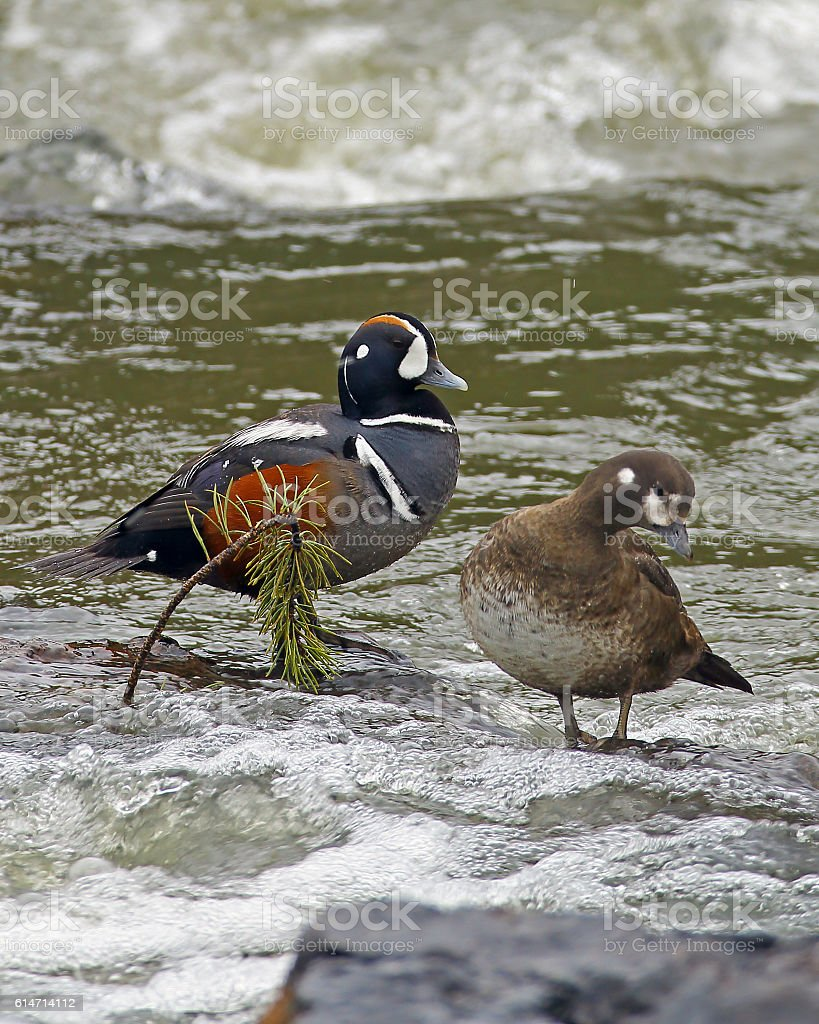 Harlequin Duck Pair Vertical Format stock photo