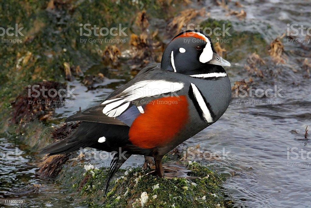Harlequin Duck royalty-free stock photo