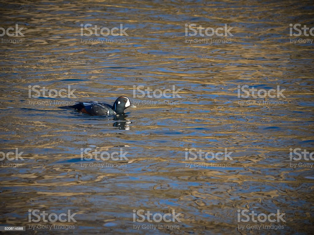 Harlequin Duck stock photo