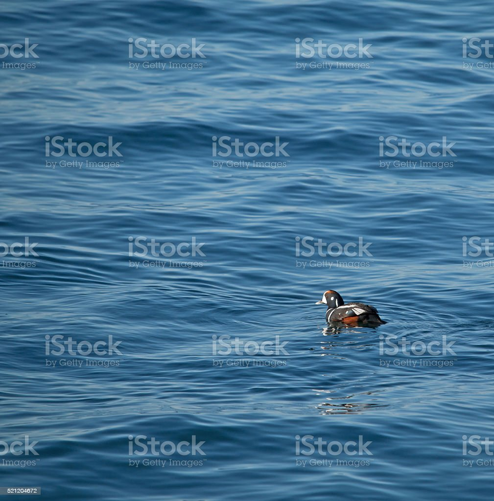 Harlequin Duck Swimming in Ocean stock photo