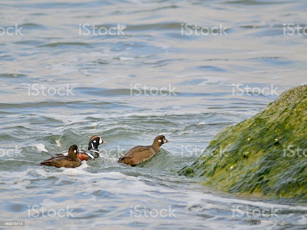 Harlequin Ducks Coming Ashore stock photo