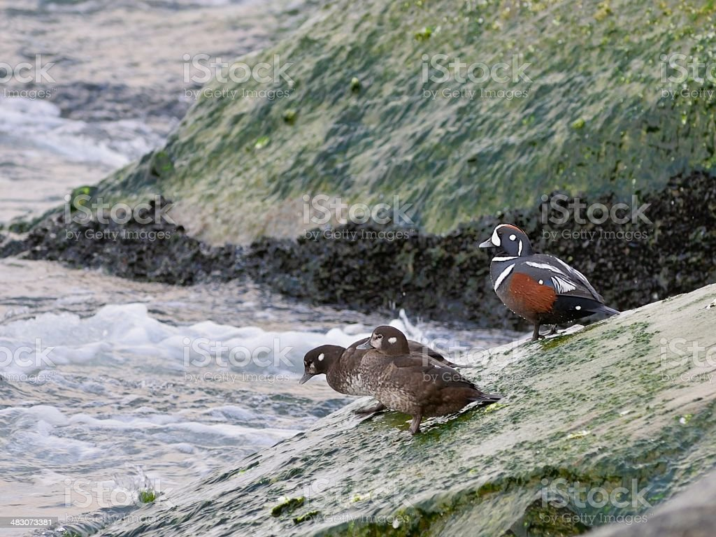 Harlequin Ducks In Ocean City stock photo