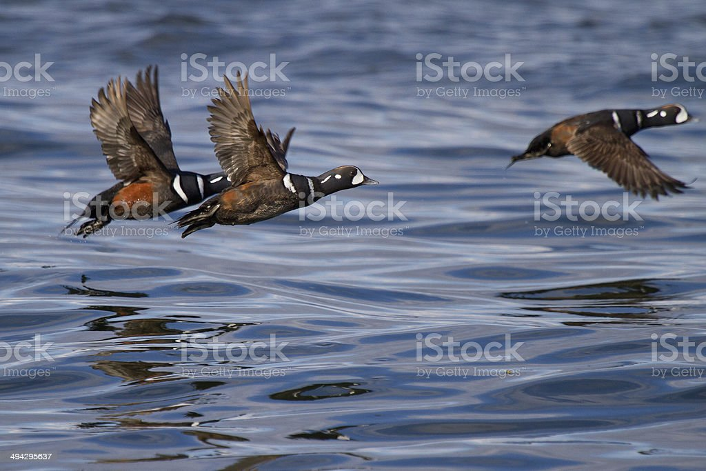 Harlequin Ducks stock photo