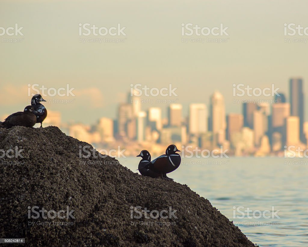 Harlequin ducks with Seattle skyline background stock photo