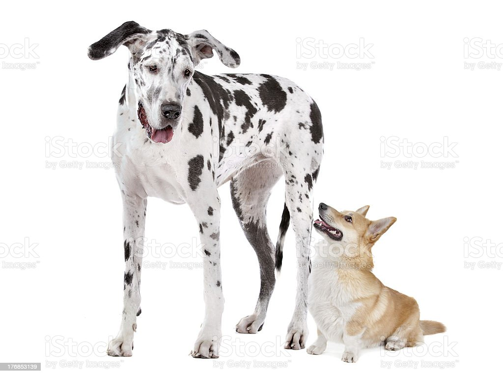Harlequin Great Dane and aPembroke Welsh Corgi dog stock photo