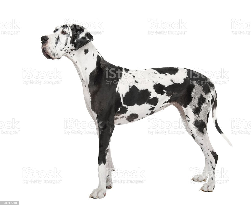 harlequin Great Dane (4 years) looking away stock photo