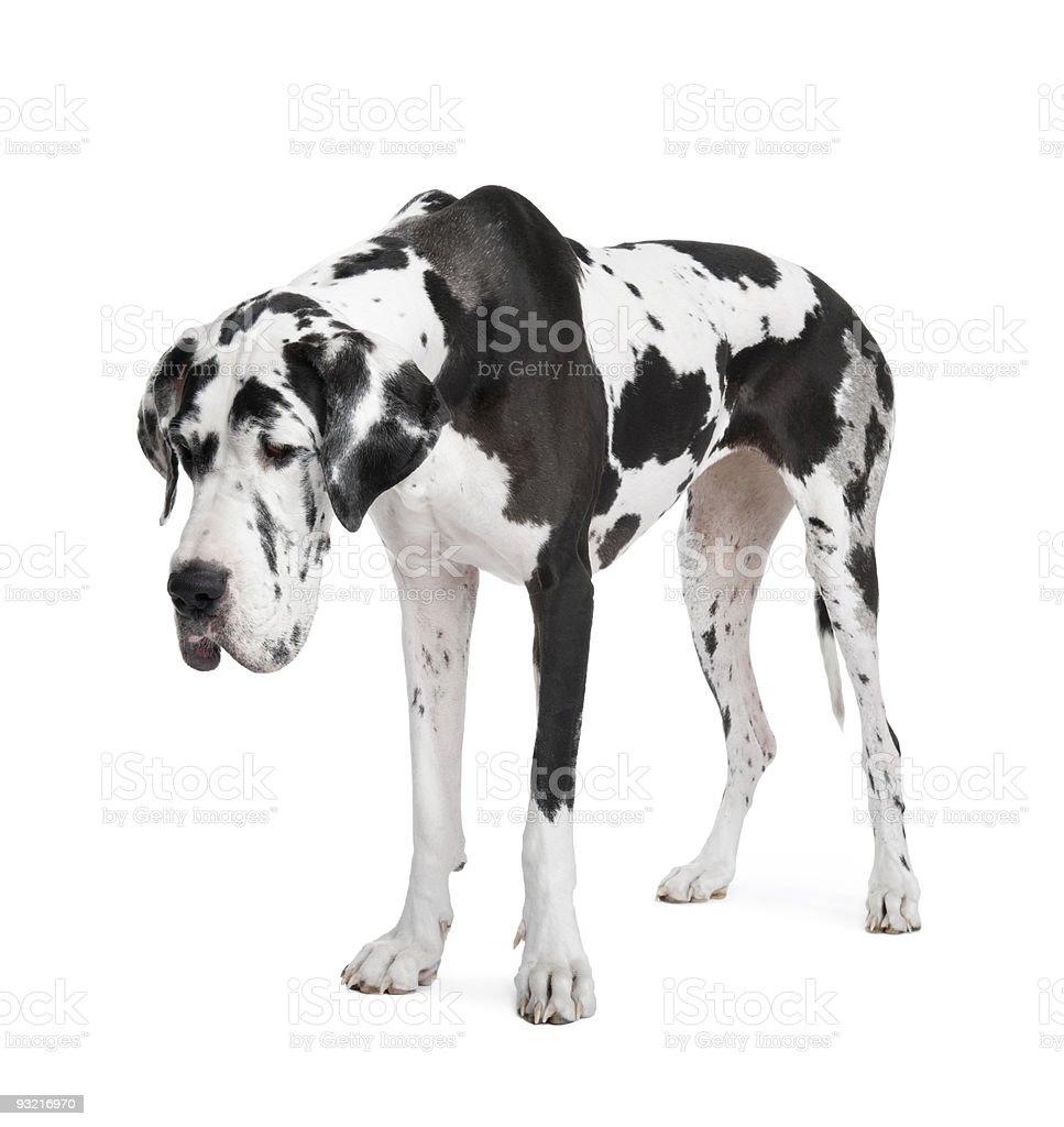 Harlequin Great Dane (4 years) stock photo