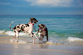 Harlequin Great Danes PLaying