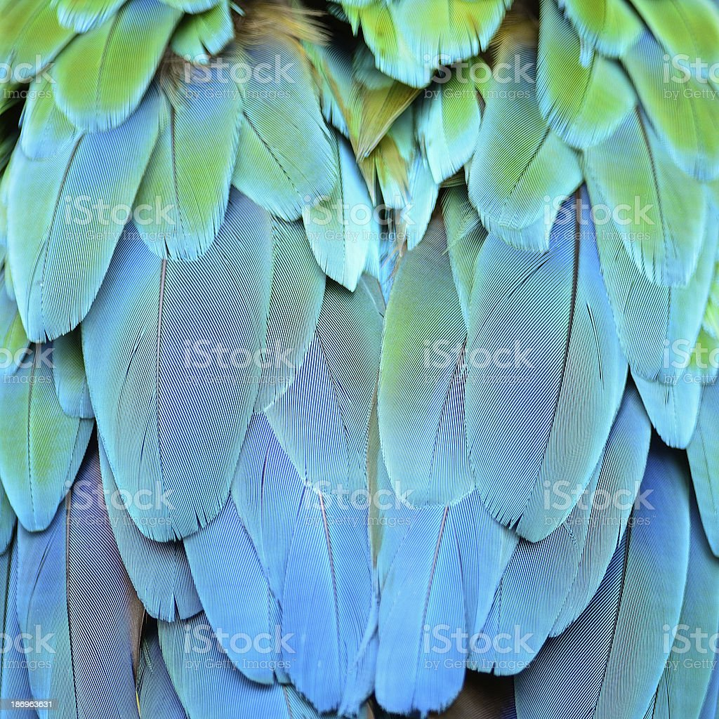 Harlequin Macaw feathers royalty-free stock photo
