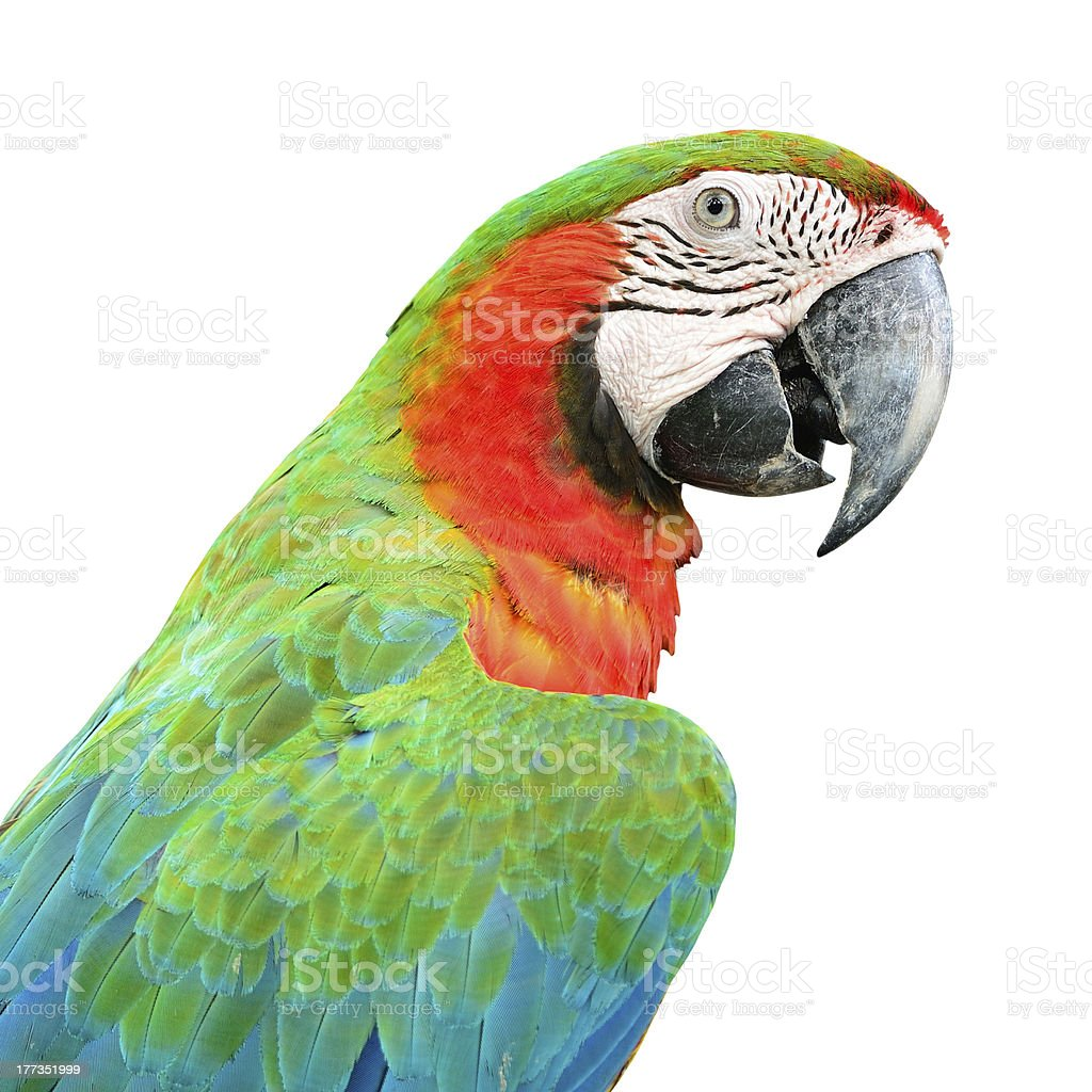 Harlequin Macaw stock photo