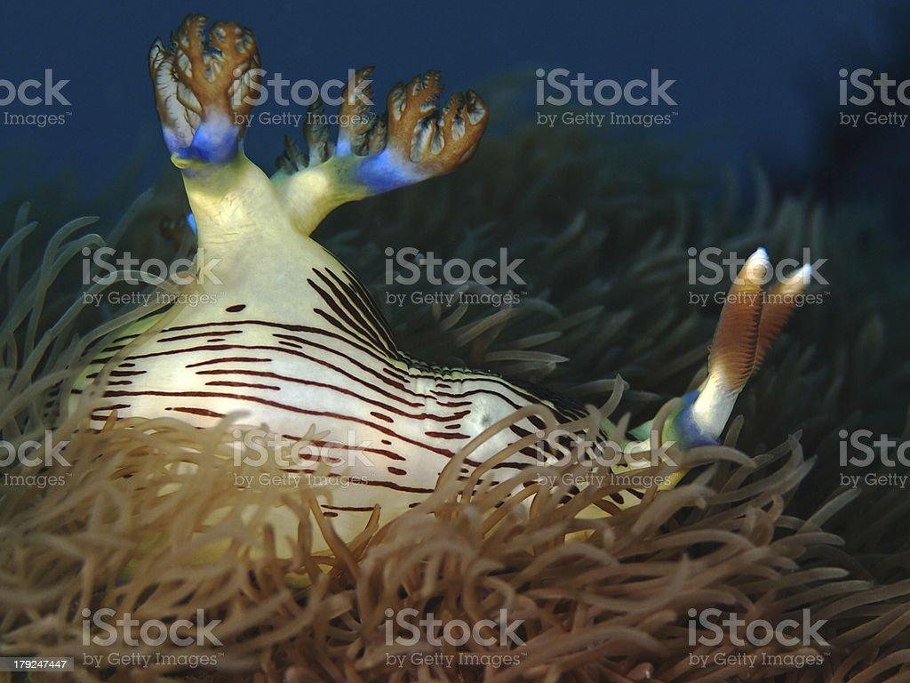 Harlequin Nudibranch (Nembrotha lineolata) royalty-free stock photo