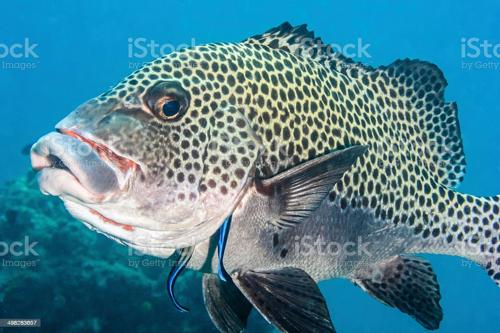 Harlequin Sweetlips being cleaned on a coral reef stock photo