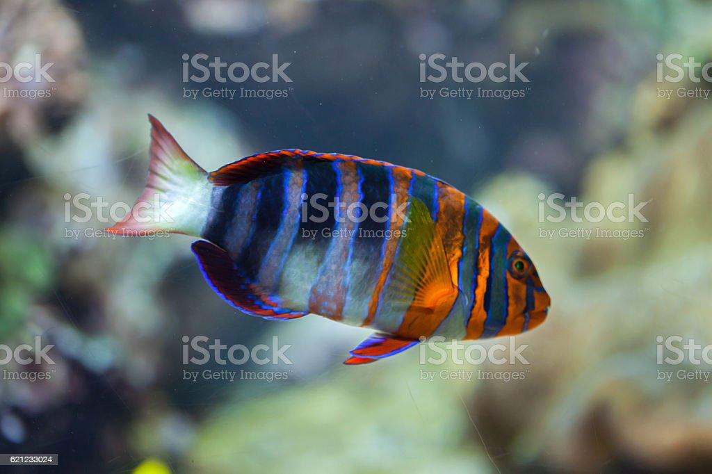 Harlequin tuskfish (Choerodon fasciatus). stock photo