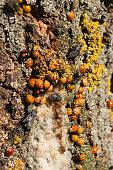 Harmonia axyridis ash tree sap.