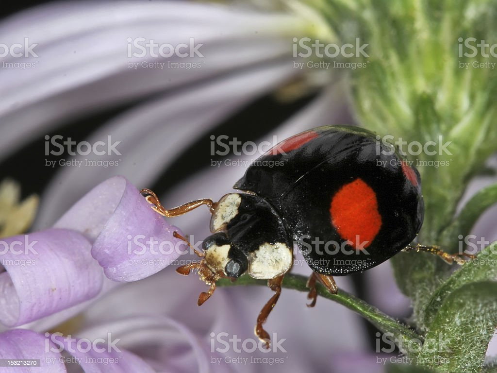 Harmonia axyridis royalty-free stock photo