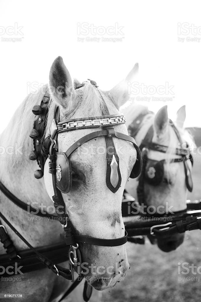 harness white horses stock photo