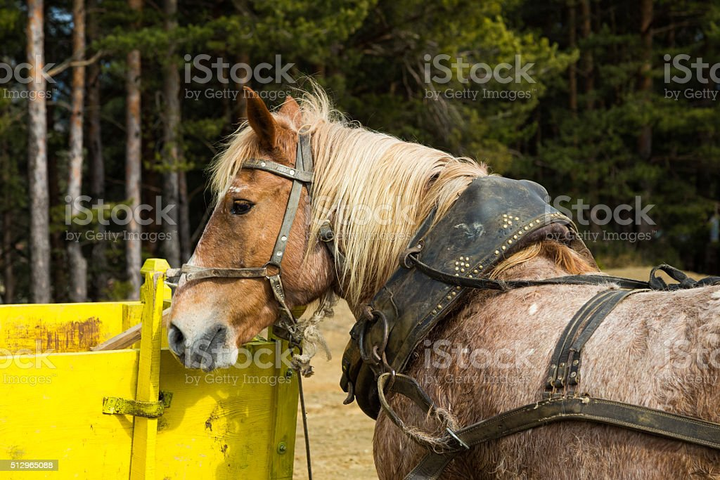 Harnessed dray or draft horse waiting to a cart stock photo