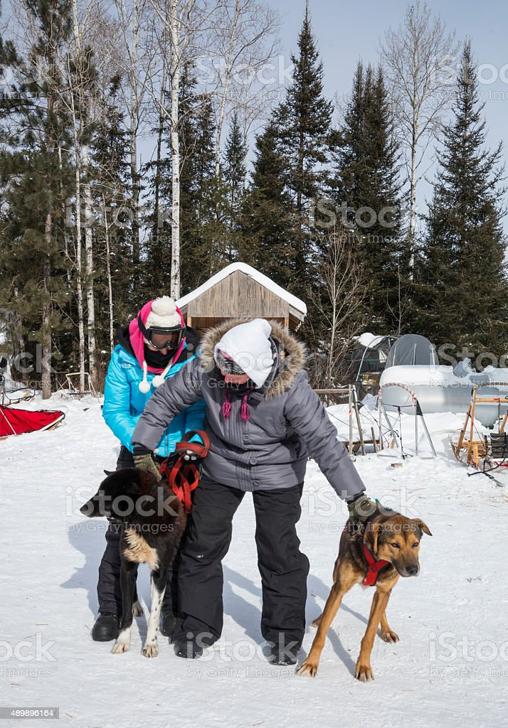 Harnessing dogs for dogsledding stock photo
