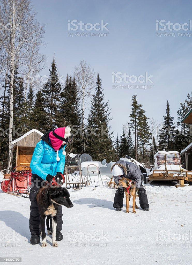 Harnessing huskies for dogsledding stock photo