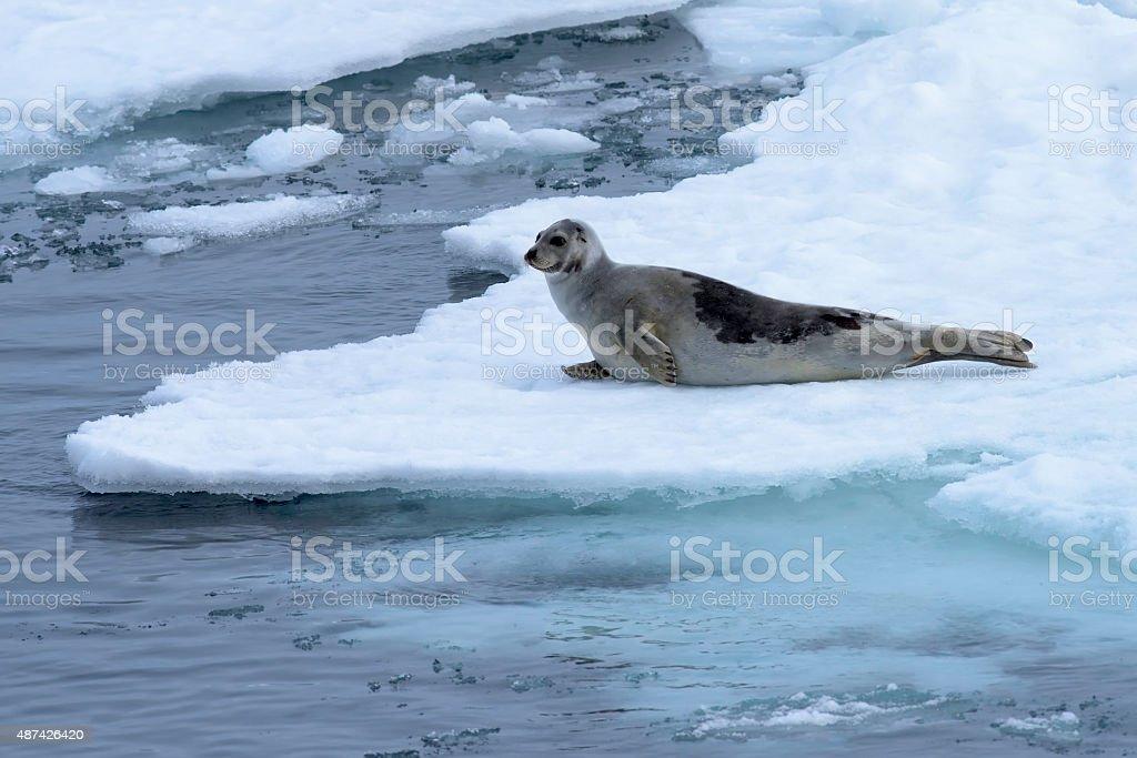 Harp seal on an ice floe in the Arctic Ocean. stock photo