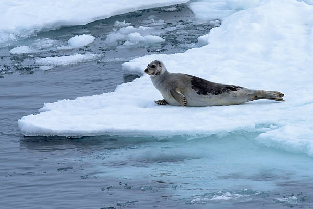 related pictures seal arctic - photo #13
