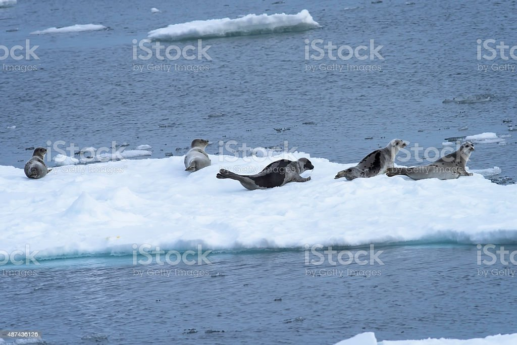 Harp seal on an ice floe in the Arctic. stock photo