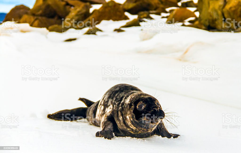 Harp Seal stock photo