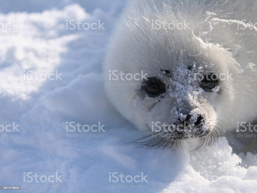 Harp Seal Pup in Snow stock photo