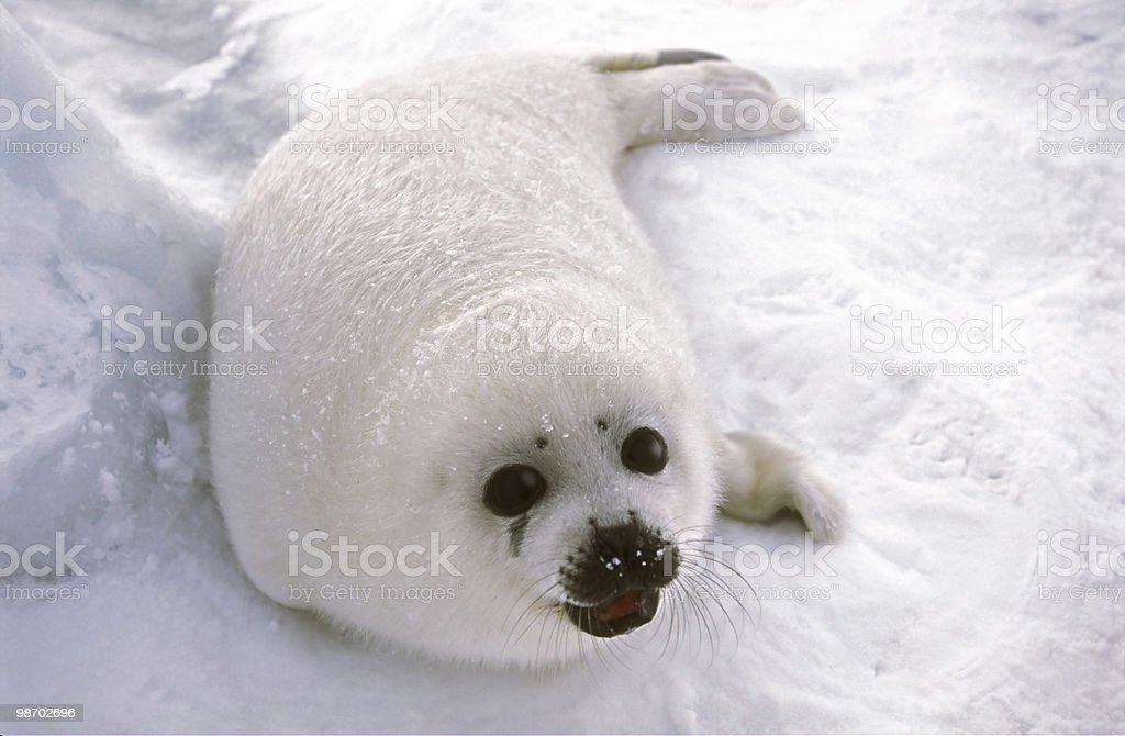 harp seal pup on ice floe royalty-free stock photo