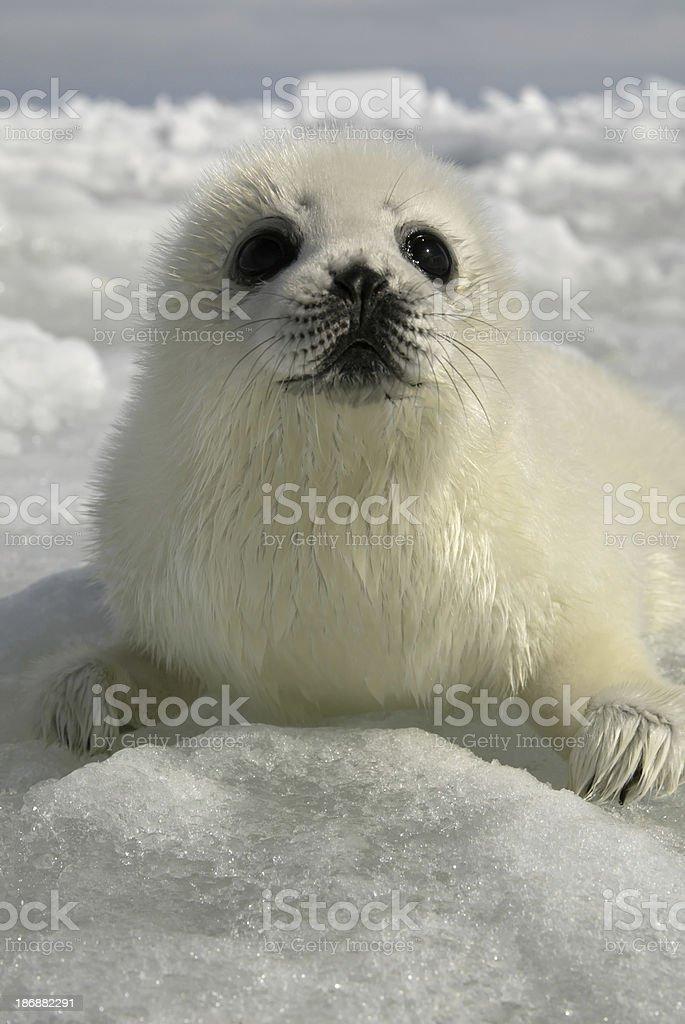 Harp Seal Pup royalty-free stock photo