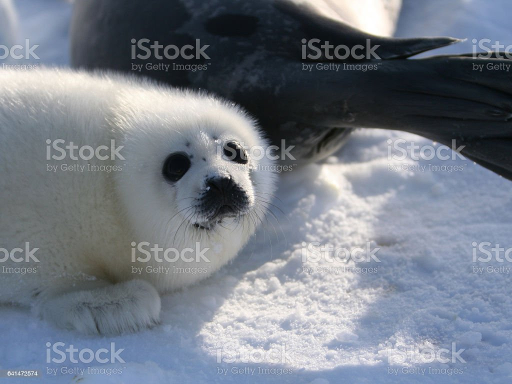 Harp Seal Pup with Mother stock photo