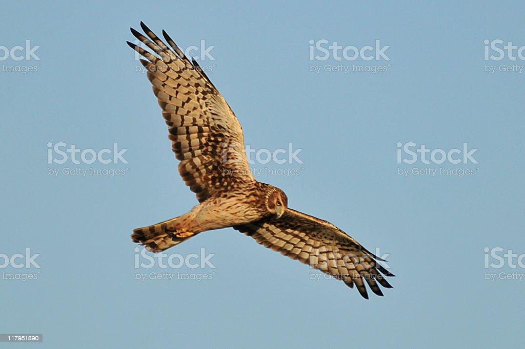 Harrier stock photo