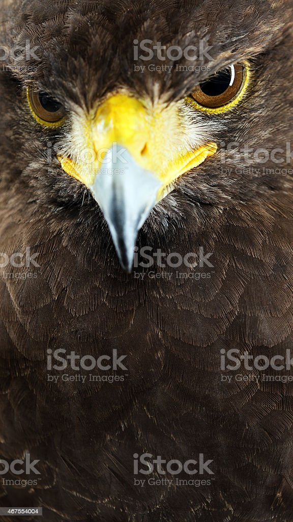Harris hawk close up portrait. stock photo